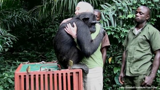 Chimp hug